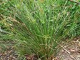 Spiny flat-sedge